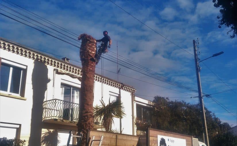 Abattage par démontage d'un Palmier Phoenix, Montpellier (34)