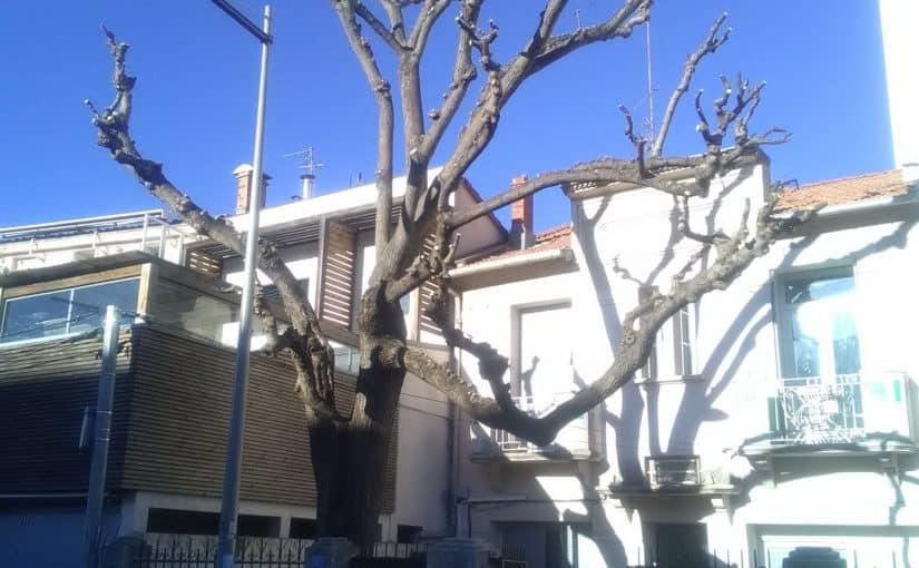 Taille architecturée d'un Sophora du Japon, Montpellier (34)